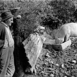 Archie Parkhouse with his pig Millhams - Dolton Devon 1974 by James Ravilious