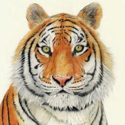 Eyes of the Tiger by Patrizia Donaera